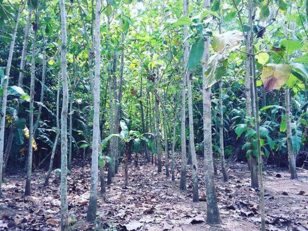 Dijual Cepat Tanah Isi Pohon Jati Kedungreja Cilacap